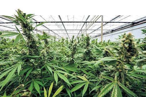 D66: Kamermeerderheid voor regulering wietteelt | Medicinale-cannabis | Scoop.it