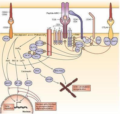 Inmuno_linfoc_index   Linfocitos: sus funciones, estructura y su relación con el sistema inmunologico   Scoop.it