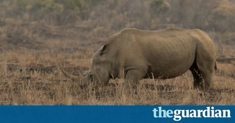 Can drones help save the rhino? – video | Save our Rhino and all animals...this is what it looks like!!!!! | Scoop.it