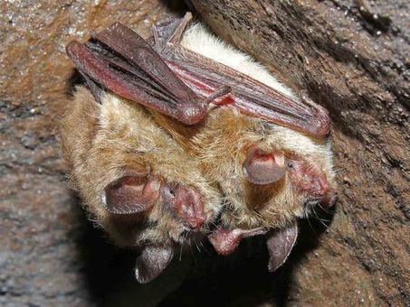 Protect bat species on verge of extinction | Bat Biology and Ecology | Scoop.it