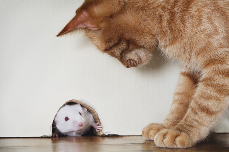 Mice Lose Fear Of Cats Permanently After Infection With Toxoplasma Gondii ... - Huffington Post   animal science   Scoop.it