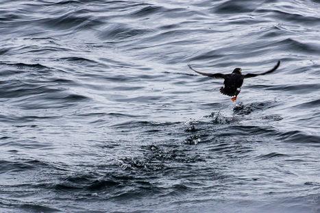 #oiseau #arctique - #Hurtigruten - #Norvege  #Lofoten © Paul Kerrien - http://toilapol.net | Arctique et Antarctique | Scoop.it