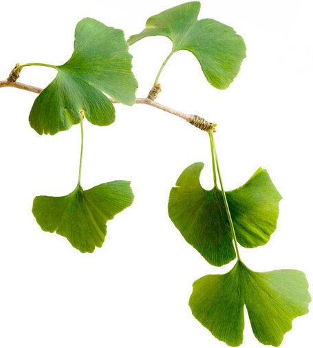 New Doubts About Ginkgo Biloba | fitness, health&nutrition | Scoop.it