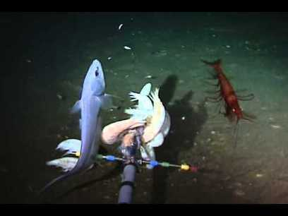 Deep sea footage: FK141109 RV Falkor Hadal highlights - YouTube | animals and prosocial capacities | Scoop.it