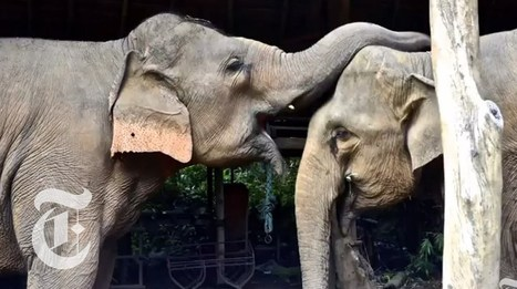 Elephant Empathy | ScienceTake | The New York Times - YouTube | Hope | Scoop.it