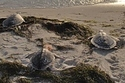 Rescued Sea Turtles Head Into The Rising Sun | Marine Biology | Scoop.it