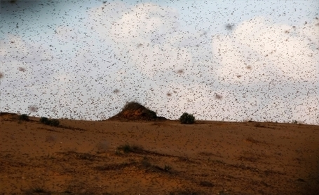 Tweeps blame Egypt's Muslim Brotherhood for 'curse of locusts' | Égypte-actualités | Scoop.it