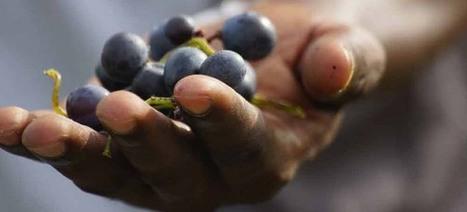 Premier vignoble de l'Afrique de l'Ouest 'Made in Sénégal' | Vinideal - A la recherche de votre Vin Idéal ! www.vinideal.com | Scoop.it