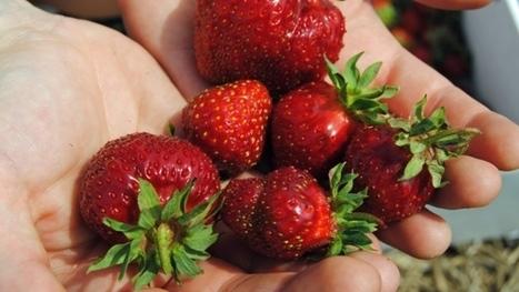 Destructive strawberry virus under control in Nova Scotia | Virology News | Scoop.it