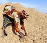 """L'arachide, nouvel """"or"""" des paysans sénégalais   Questions de développement ...   Scoop.it"""