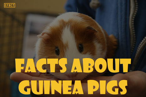 Facts about Guinea Pigs - Fun Facts   EFACT   Scoop.it