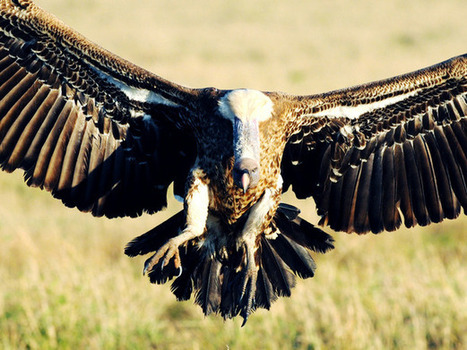 Why I love vultures | Vulture Love | Scoop.it