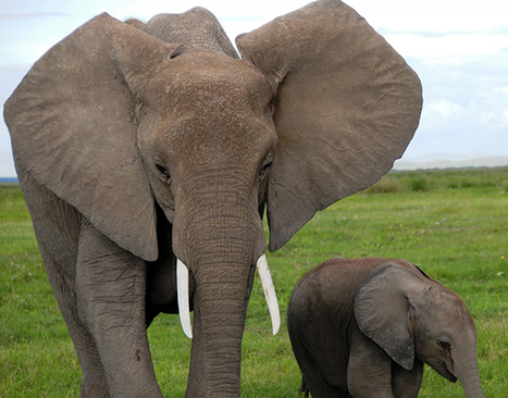 Elephant trophy imports from 3 more African countries no longer welcome in EU | Trophy Hunting: It's Impact on Wildlife and People | Scoop.it