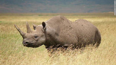 Western black rhino declared extinct | safarious | Scoop.it