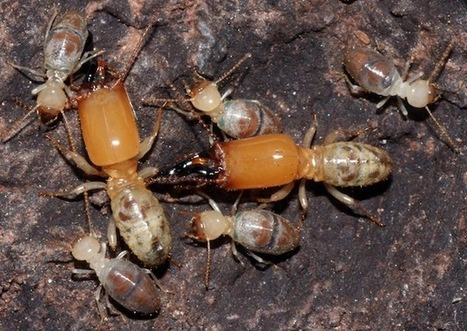 Older worker termites become exploding, toxic defenders | Social Foraging | Scoop.it