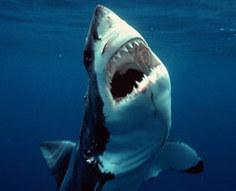 Teenage Great White Sharks Have Weak Bite | Computational Biomechanics in Palaeontology | Scoop.it