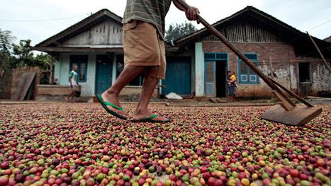 Bad Java: Poor Coffee Crop Adds to Indonesia's Woes | AS Micro | Scoop.it