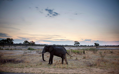 Zimbabwe's young elephants sold to China | Human-Wildlife Conflict: Who Has the Right of Way? | Scoop.it