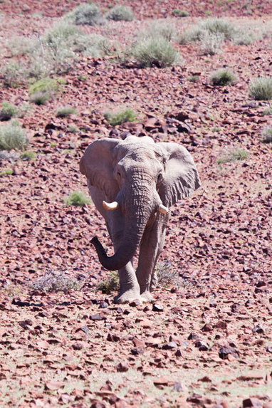 Controversy grows as first desert elephant shot | My Passions...All things with 4 Feet | Scoop.it