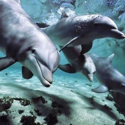 Documentary Team Discovers Young Dolphins Are Using Puffer Fish to Get High | Archivance - Miscellanées | Scoop.it