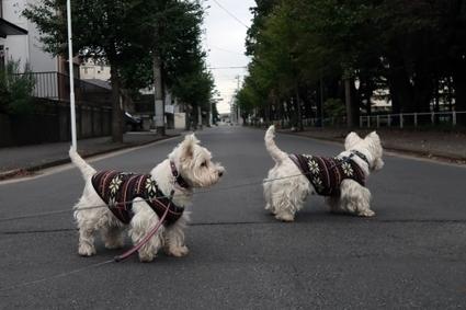 肥満って体脂肪率で判断されるのかな   West Highland White Terrier   Scoop.it