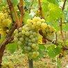vin et vinification, dernières avancées