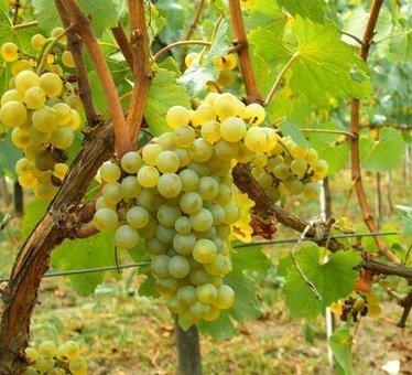 Etude : la diversité des levures indigènes moins riche en bio - Vitisphere.com | vin et vinification, dernières avancées | Scoop.it