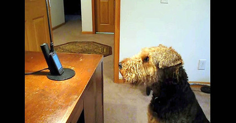 Stanley Misses Mommy | Airedale Terriers | Scoop.it