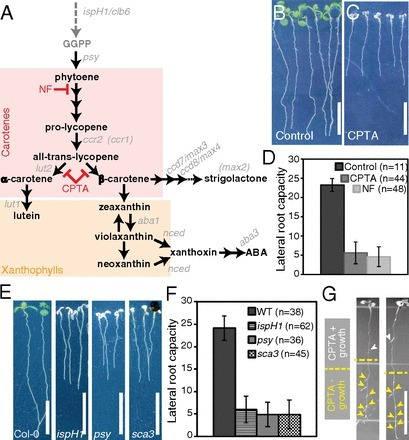 Periodic root branching in Arabidopsis requires synthesis of an uncharacterized carotenoid derivative   postharvest central   Scoop.it