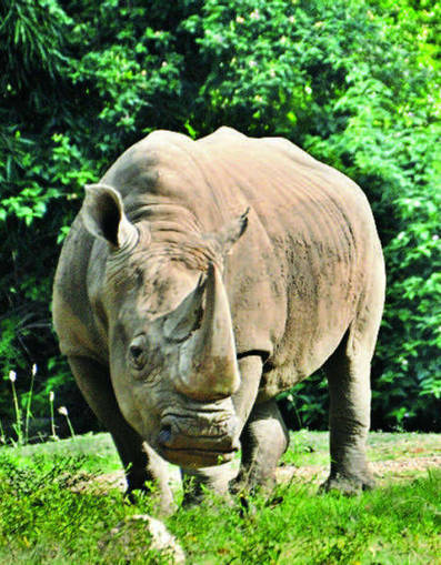 Plight of animals turn poacher into conservationist in Assam - Times of India | Helping Wildlife Conservation Through Art | Scoop.it