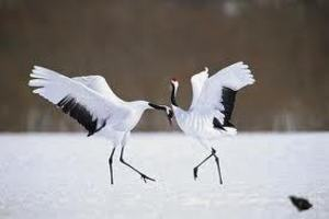 Why Do 'single' birds dance? The Wildlife School of Dance VIDEO
