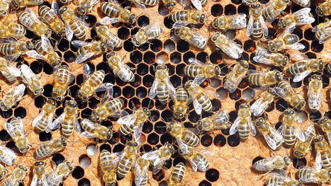 A Vaccine For Dying Bee Populations Could Help Them Fight Off Trouble - Co.Exist | Miel Melipona | Scoop.it