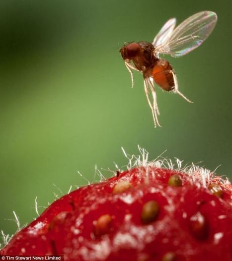 Drosophila suzukii has been spotted in the UK | Effectors and Plant Immunity | Scoop.it