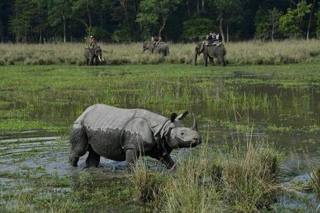 'Dehorning not the solution to rhino poaching' | Where do Conservationists stand in the fight against poaching and habitat loss? | Scoop.it