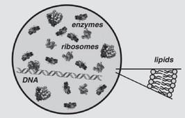 Semi-synthetic minimal cells: origin and recent developments | SynBioFromLeukipposInstitute | Scoop.it