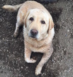 "LOST DOG: 3709 HWY 358, Canning, Kings Co., NS — Yellow Labrador Retriever, Female, 4 years old — ""Jilly aka Jill"" 