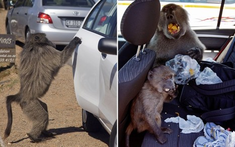Cape Town baboons get paintballed | Quite Interesting News | Scoop.it