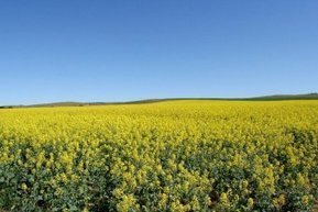 Audit of SA canola growers finds farmers were following the rules   Beet western yellows virus   Scoop.it