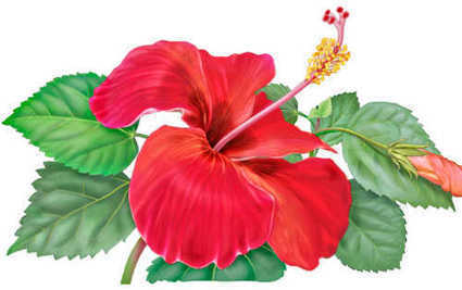 8 Health benefits of hibiscus | Healthcare Tips | Fitted home alarms | Scoop.it