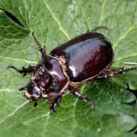 Le Rhinocéros, un coléoptère d'Europe continentale, découvert pour la première fois au Royaune-Uni | EntomoNews | Scoop.it