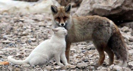 Video: Hermosa e increíble amistad entre un gato y un zorro - VeoVerde | Agua | Scoop.it