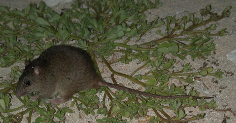 Australian Rodent Is First Mammal Made Extinct by Human-Driven Climate Change, Scientists Say | Green Forward - Environment-World | Scoop.it