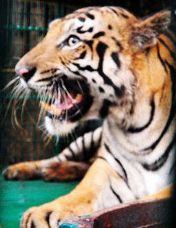 Conservationists excited by tiger population rise in Nepal - The Times of India   Tiger Conservation   Scoop.it
