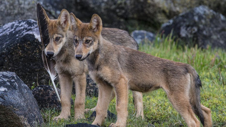 Petition · BC Parks: Protect British Columbia's Vargas Wolf Pack · Change.org | Our Evolving Earth | Scoop.it