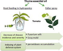 Thyme essential oil as a defense inducer of tomato against gray mold and Fusarium wilt | Fusarium and wheat | Scoop.it