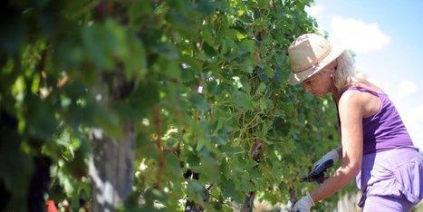 Vendanges en Gironde : pourquoi la récolte manuelle perd du terrain - Sud Ouest | Agriculture en Dordogne | Scoop.it