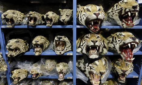 UN calls for overhaul of national laws to tackle wildlife crime | The Guardian | Farming, Forests, Water, Fishing and Environment | Scoop.it