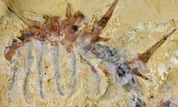 Hairy monster: ancient 'super-armoured' worm discovered in #China #archeology | Limitless learning Universe | Scoop.it