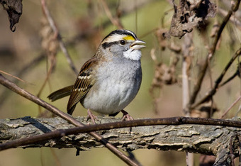 eScienceCommons: Birdsong study pecks theory that music is uniquely human | animals and prosocial capacities | Scoop.it