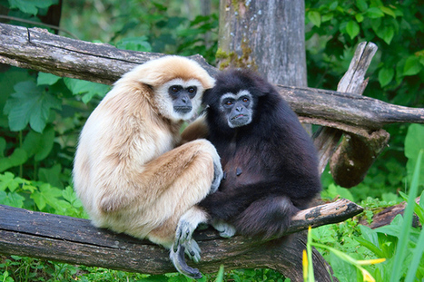 The Year of the Gibbon - RiAus | Communicating Science | Scoop.it